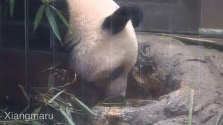 2020/2/27 (7) ラスト観覧は水分補給のシャンシャン Giant Panda Xiang Xiang