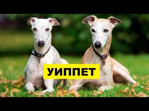 Собака Уиппет плюсы и минусы породы | Собаководство | Порода Уиппет