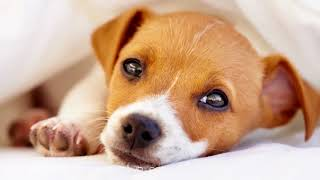 Sleep Music For Dogs: Dog Relaxation Music, Anxiety Prevention, A Pet Therapy Dog, Calming Music