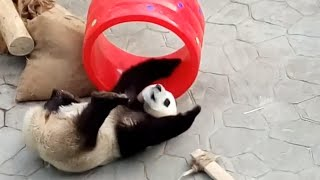 Giant Panda Has Love and Hate Relationship With His Favorite New Toy thumbnail