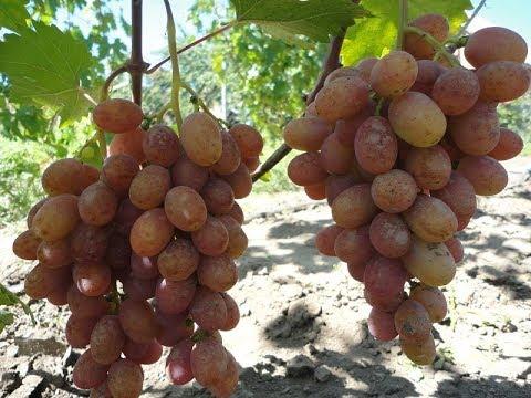 На винограднике: Гурман Ранний