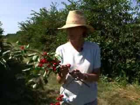 Tart Cherry Varieties