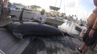 Plus Gros Marlin de Guadeloupe 420kg Saint-Francois 2016