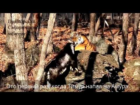 козел Тимур и тигр Амур, последний день вместе