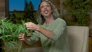 "Cannabis Super-Cropping: Kyle Kushman's ""Chiropractic"" Plant Training Method / Green Flower"