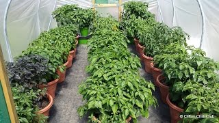 Chili Polytunnel Update August 2015