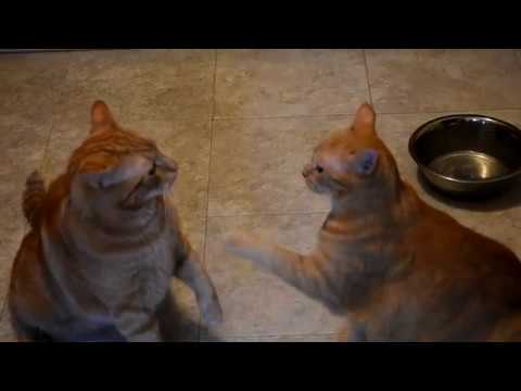 Cats fight over Fancy Feast meal