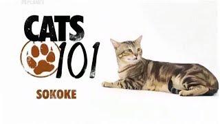 Сококе на Animal Planet | Введение в котоводство | Cats 101