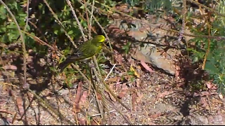 Yellow Fronted Canary at Africa Watering Hole cam. 15 February 2017