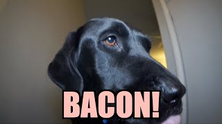 Talking Kitty Cat 27 - BACON!