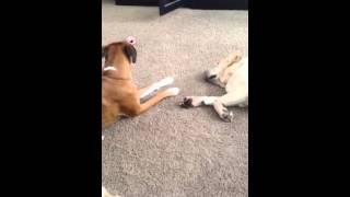 Boxer Trying To Wake Up Labrador Retriever