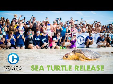 Release of Toot the Sea Turtle at Clearwater Beach