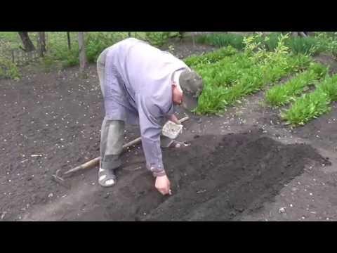Как выращивать клубнику? Как вырастить большую и сладкую