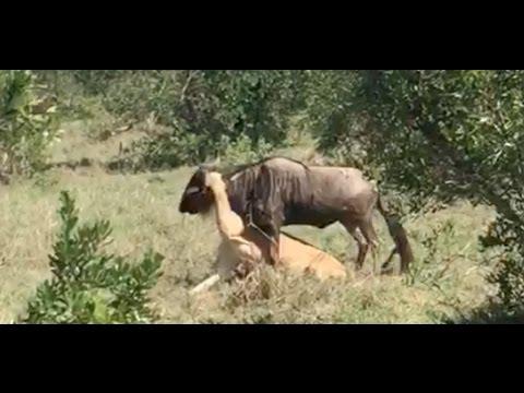 Lion & Wildebeest Kill with Saruni lodges