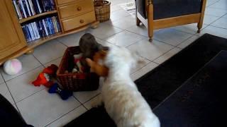 Cairn Terrier Rhana & Westie Demi Spelen Met  De Mushabelly