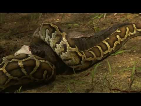 Vengeance of Giant Python Found in Florida ★ Documentary Discovery Channel