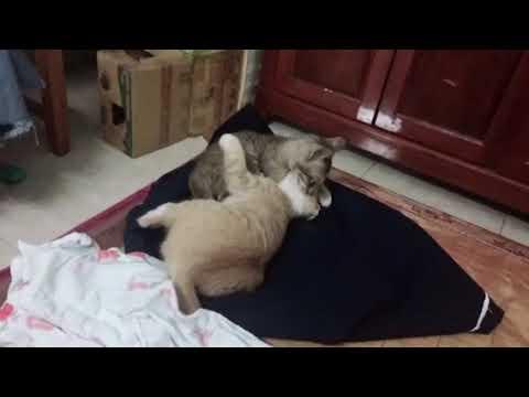 2 con mèo đánh nhau một tí lại liếm nhau