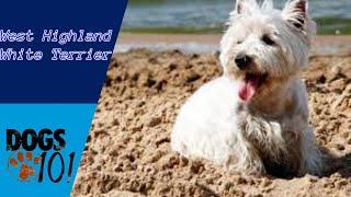 Dog 101  West Highland White Terrier