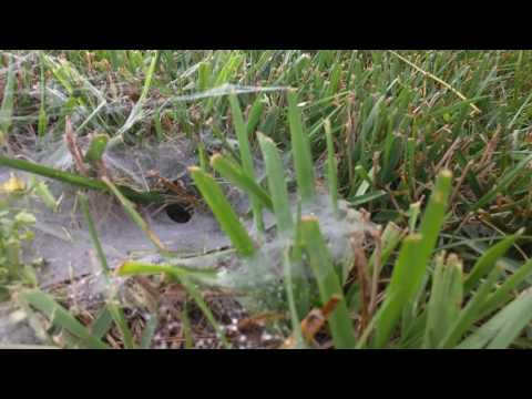 Wolf Spider emerges from web-tunnel.