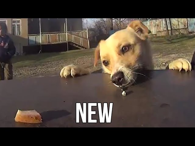My Cute Dogs Trying To Reach Food On The Table [Funny HD Video]
