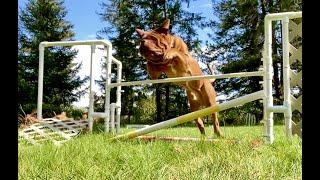 Training Dogue De Bordeaux Anubis End of Week 4