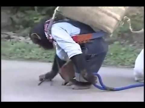 con khỉ thông minh