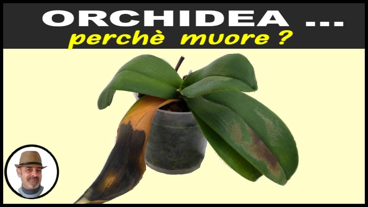 Download le 5 CAUSE che fanno morire l'orchidea, porque la orquídea muere, why orchid dies