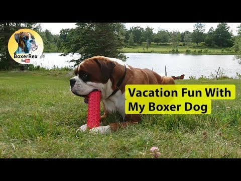 Vacation Fun With My Boxer Dog