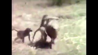 Jadące małpy na dziku