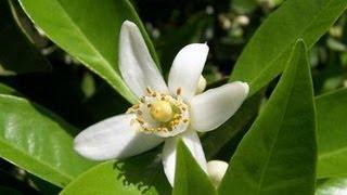Flor de Azahar : Una Planta Milagrosa con Múltiples Propiedades y Beneficios para la Salud
