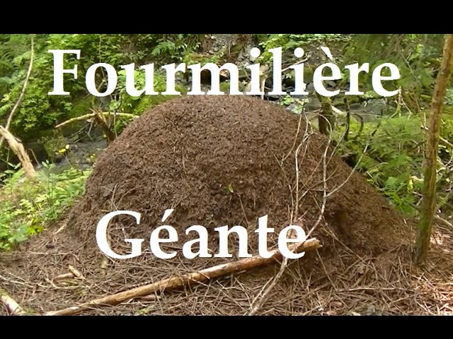 Fourmiliere Geante En France Youtube