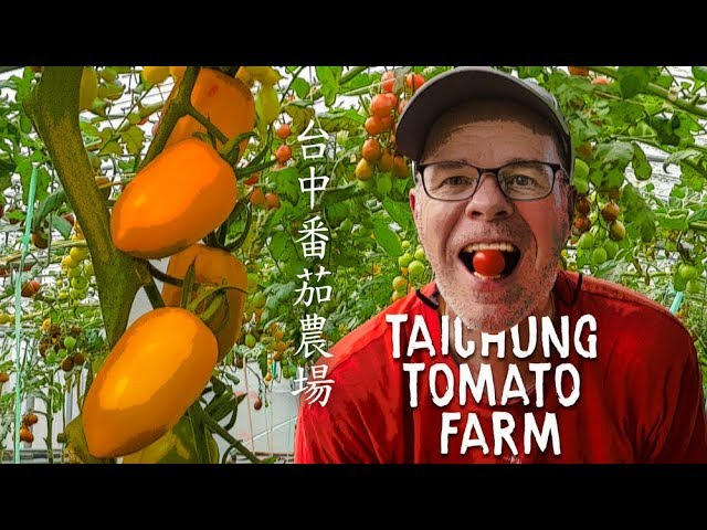 Picking Tomatos at the You and Me Farm in Taichung (花蓮玉里短暫之旅)