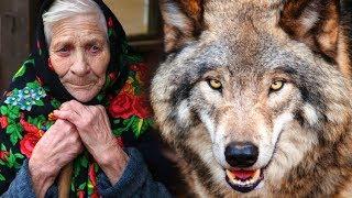 Волк спас бабулю от непрошеных гостей... Год назад она взяла его волчонком, приняв за щенка.