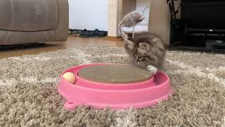 Adorable Ragamuffin Kitten Playing