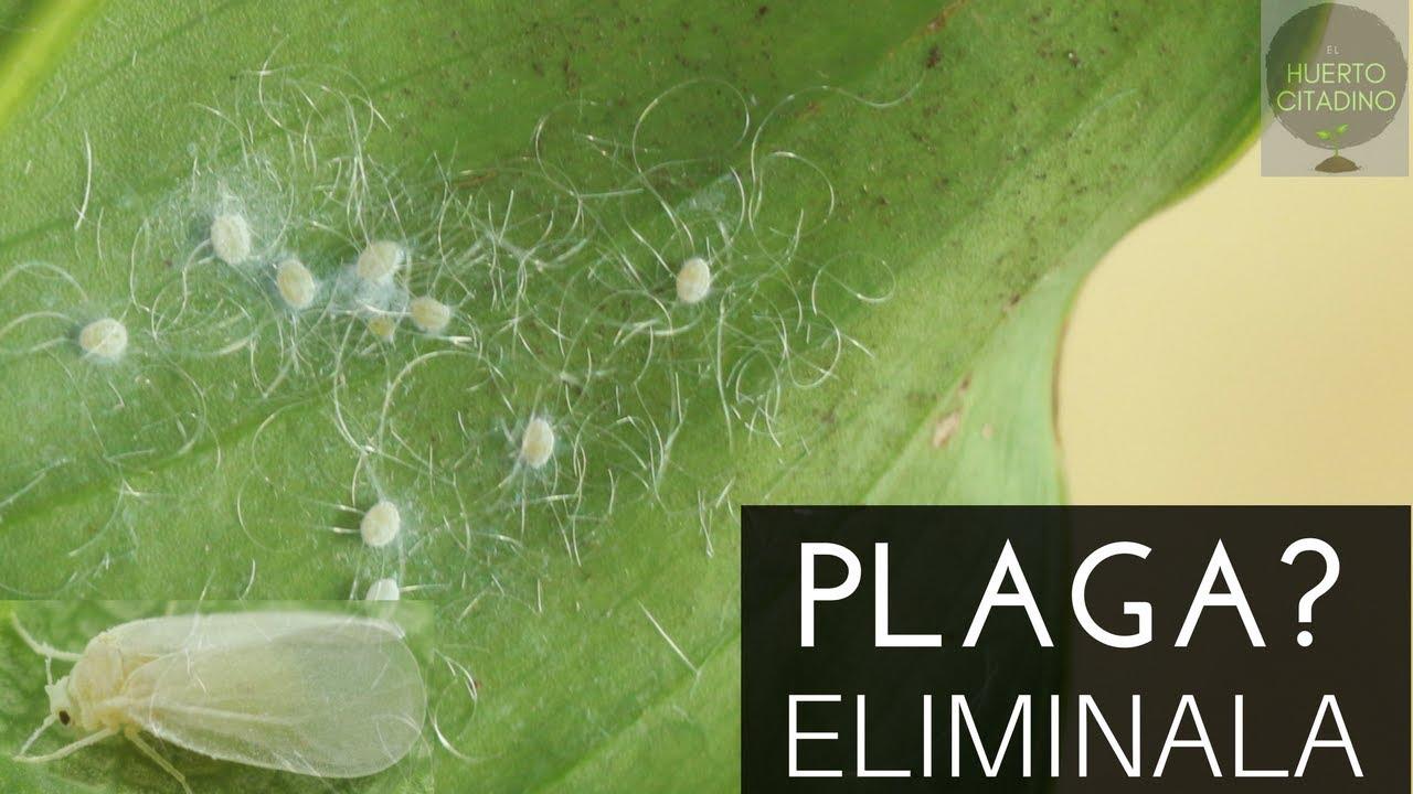 remedios caseros para hongos blancos en las plantas