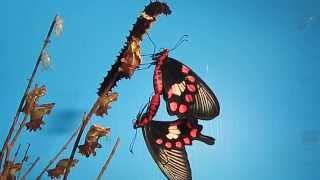 紅紋鳳蝶剛羽化不久倆小無猜看對眼就開始交尾兩隻即將結蛹的幼蟲在旁邊...