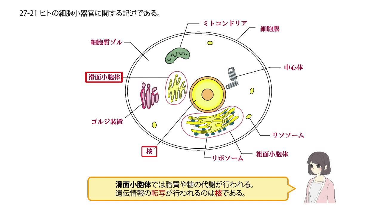 滑面小胞体では、 遺伝情報の転...