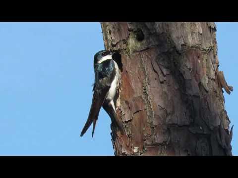 Tree Swallow (Tachycineta bicolor) Entering Nest Cavity - Blackwater National Wildlife Refuge