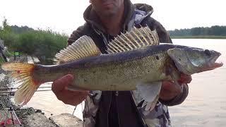 Ловля на фидер, поклевка судака, хищная рыба атакует, река Лиелупе | zandartu cope Lielupē