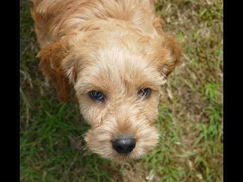 Archimedes - 12 Week Old Cockapoo Puppy - Intensive Socialisation Course