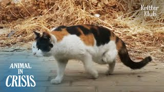 3-Legged Cat Endures Pain To Walk To The Bus Driver Who Adores Him | Animal in Crisis EP207