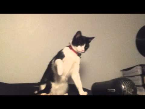 funny cat scared of hair dryer (vine version)