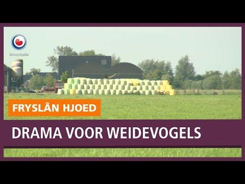 REPO: Drama voor weidevogels: kwart minder kieviten in Fryslân