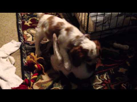 Cute Cavalier King Charles Spaniel puppies playing