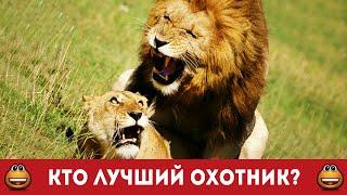 Лев и львица. Кто лучший охотник. Сафари сьемка (Смотреть видео онлайн HD)