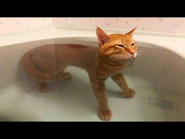 「かわいい猫」 笑わないようにしようとしてください - 最も面白い猫の映画 #349