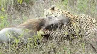 Battle at Kruger - Leopard vs Fiercely Warthog