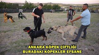 Kangal , Malaklı , Rottweiler , Alman Kurdu , American Bully HEPSİ BİR ARADA!