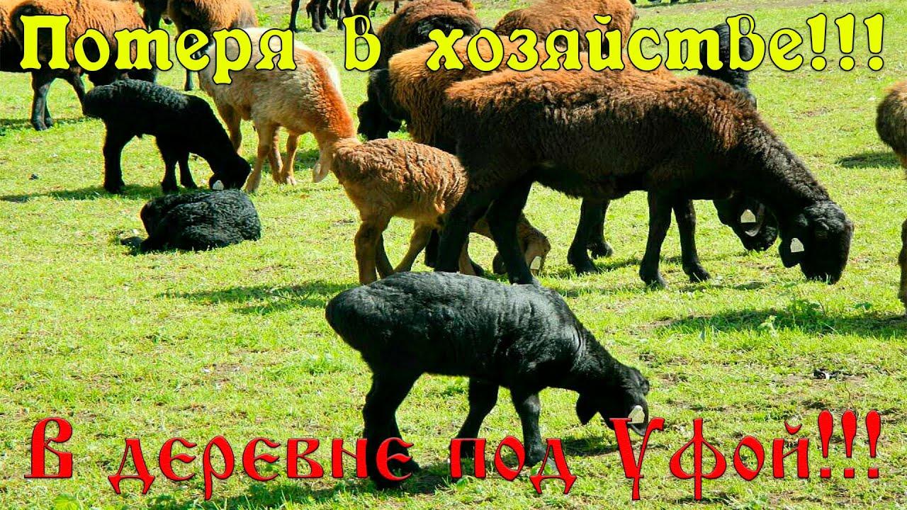 ПОТЕРЯ В ХОЗЯЙСТВЕ!!! #эдильбаевская #овца #ягнёнок #баран