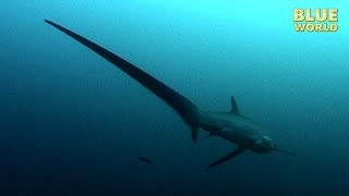Philippines Thresher Sharks | JONATHAN BIRD